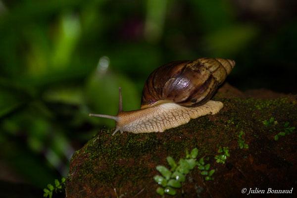 Achatine ou escargot géant africain (Achatina immaculata) (Cayenne, le 02/08/2016)