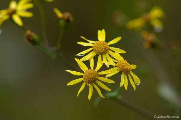 Séneçon à feuilles de Barbarée (Jacobaea erratica) (Buzy (64), France, le 01/10/2020)