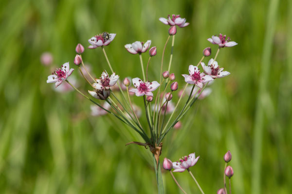 Butome en ombelle (Butomus umbellatus) (Braud-et-Saint-Louis (33), France, le 04/07/2018)