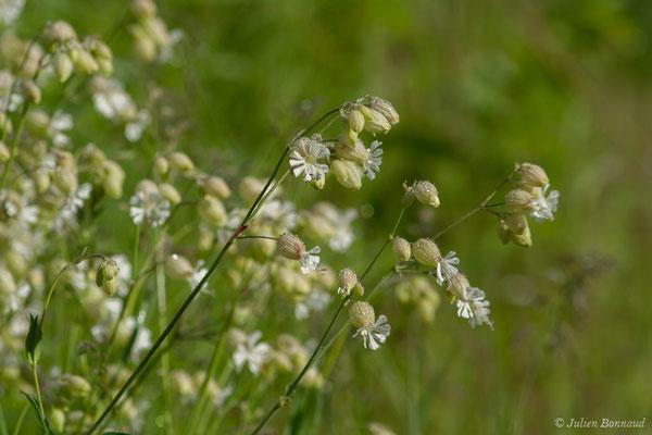 Silène commun (Silene vulgaris) (Cauteret (65), France, le 08/06/2017)