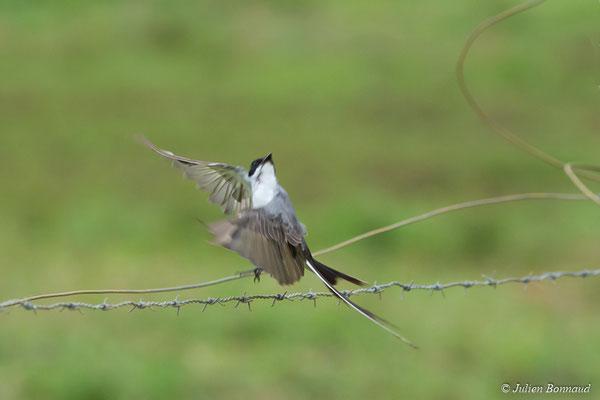 Tyran des savanes (Tyrannus savana) (route de Guatémala, le 17/04/2017)
