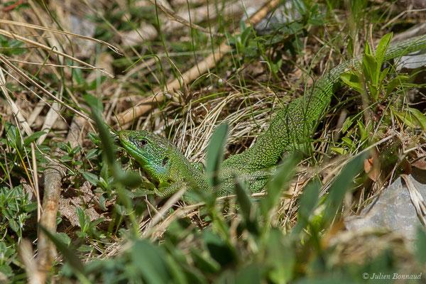 Lézard à deux raies (Lacerta bilineata) (mâle adulte) (fort du Portalet, Etsaut (64), France, le 05/04/2021)