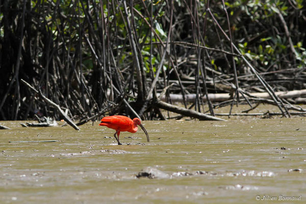 Ibis rouge (Eudocimus ruber) (Dégrad des Cannes, Remire-Montjoly, le 08/11/2015)