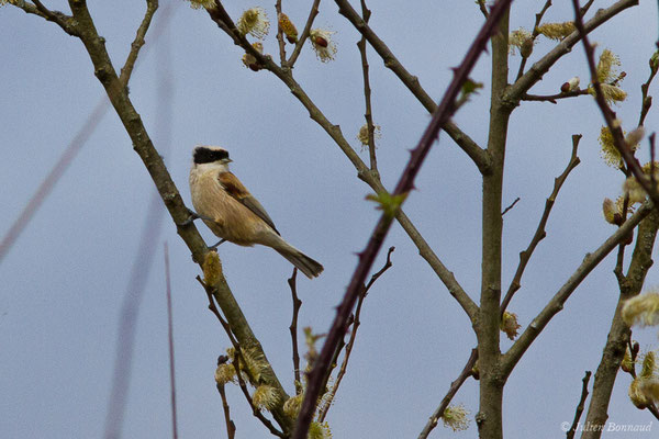 Rémiz penduline (Remiz pendulinus) (Réserve ornithologique Terre d'Oiseaux, Braud-et-Saint-Louis (33), le 07/03/2018)