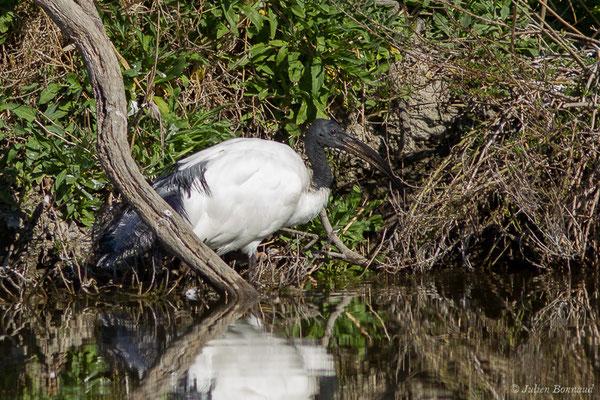 Ibis sacré – Threskiornis aethiopicus (Latham, 1790), (Parc ornithologique de Pont de Gau (13), France, le 20/02/2020)