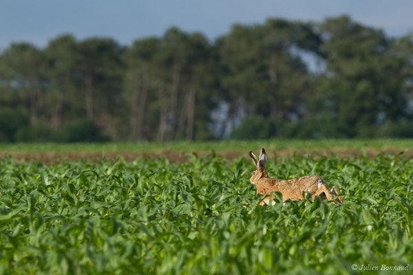 Lièvre d'Europe (Lepus europaeus) (Monségur (40), France, le 06/06/2018)