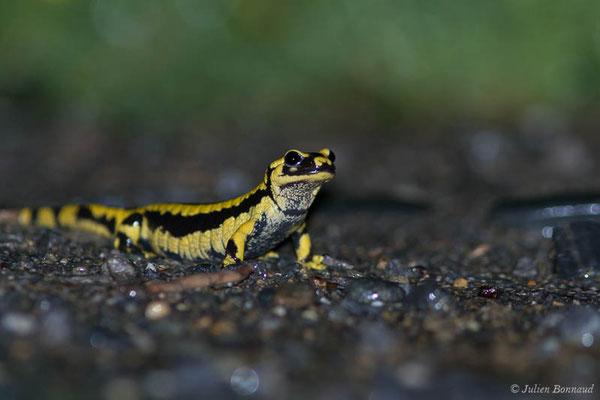 Salamandre tachetée – Salamandra salamandra terrestris (Lacepède, 1788), (adulte) (Parbayse (64), France, le 27/04/2021)