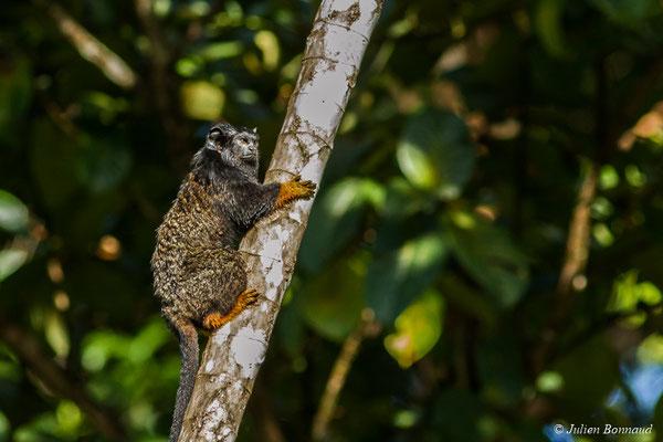Tamarin à Mains Rousses ou Tamarin à Mains Dorées (Saguinus midas) (Macouria, le 03/08/2017)
