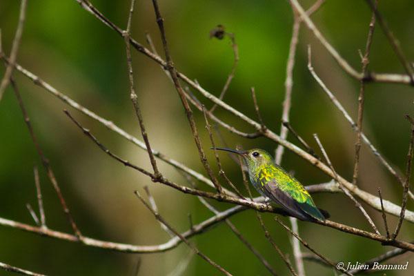Colibri tout-vert (Polytmus theresiae) (femelle adulte) (Barrage de Petit-Saut, Kourou, le 05/08/2016)