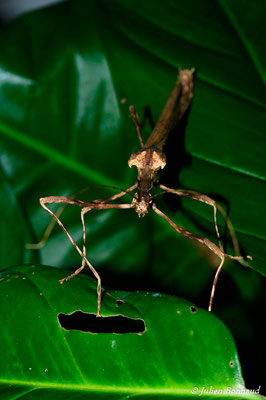 (Ignacia atrophicus) (femelle adulte) (Scierie de Saint-Georges-de-l'Oyapock, le 13/08/2015)