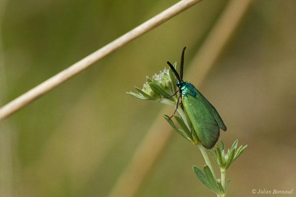 Turquoise (Adscita sp.) (mâle) (Pihourc, Saint-Godens (31), France, le 16/05/2019)