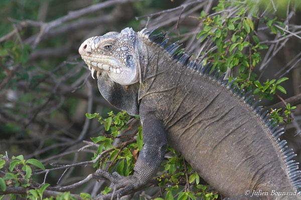 Iguane des Petites Antilles (Iguana delicatissima) (Petite Terre, le 26/05/2016)