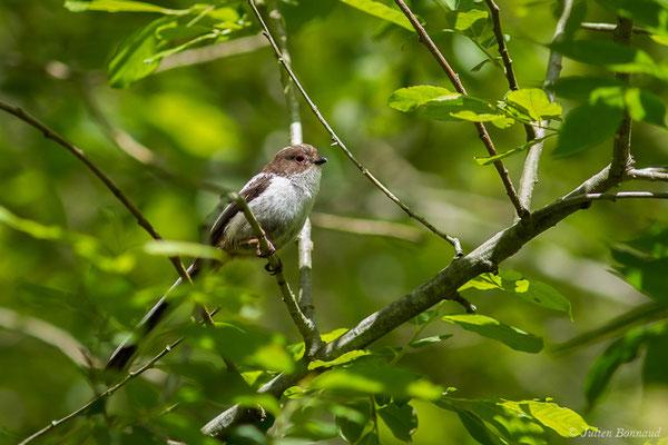 Mésange à longue queue (Aegithalos caudatus) (juvénile) (Ustaritz (64), France, le 22/05/2019)
