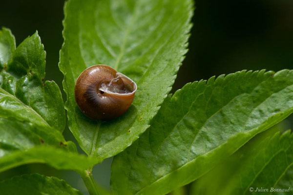 Hélice carénée Hygromia cinctella (Draparnaud, 1801) (Oloron-Sainte-Marie (64), France, le 26/05/2021)