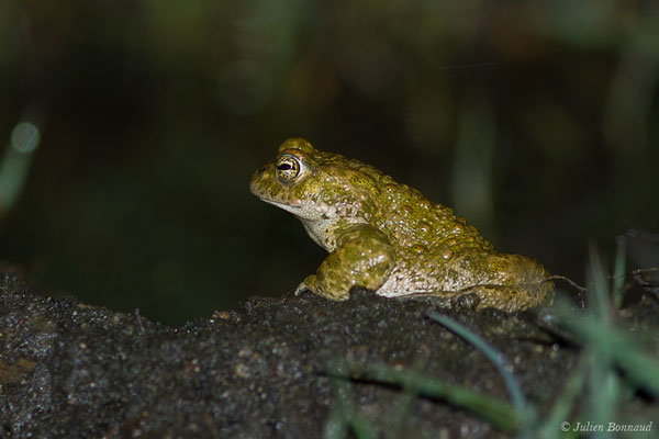 Crapaud calamite (Epidalea calamita) (Le Vignau (40), France, le 06/04/2020)
