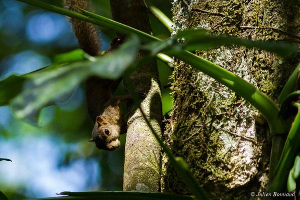 Ecureuil des Guyanes ou Grand Gélenngé (Guerlinguetus aestuans) (Lac Pali, Kaw-Roura, le 05/08/2017)