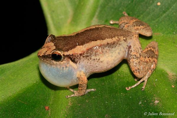 Hylode de Johnstone (Eleutherodactylus johnstonei) (Remire-Montjoly, Guyane, le 20/12/2014)