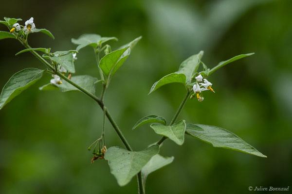 Morelle noire (Solanum nigrum) (Lacq (64), France, le 02/07/2020)