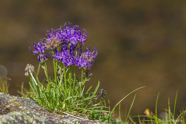Raiponce hémisphérique (Phyteuma hemisphaericum) (Pic du Midi d'Ossau, Laruns (64), France, le 04/08/2018)