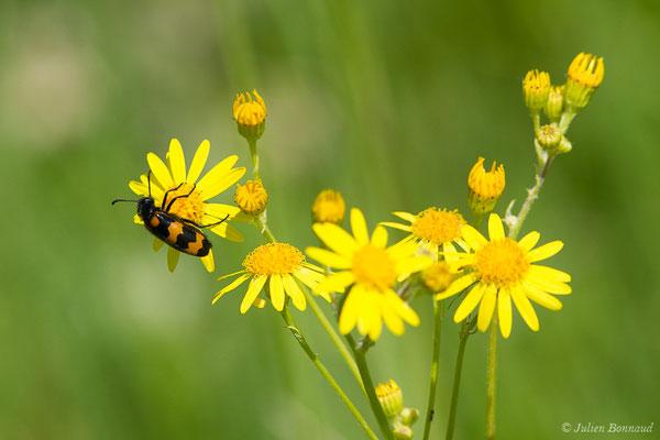 Clairon des abeilles (Trichodes apiarius) (La Brède (33), France, le 11/06/2019)