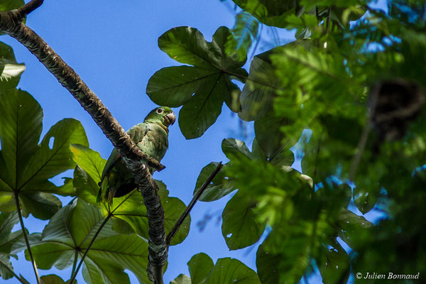 Amazone poudrée (Amazona farinose) (adulte) (Citron, Saint-Laurent-du-Maroni, le 05/07/2017)