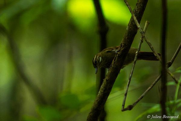 Sittine brune (Xenops minutus) (adulte) (Saint-Laurent du Maroni, le 16/09/2016)
