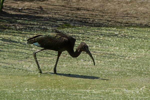 Ibis falcinelle – Plegadis falcinellus (Linnaeus, 1766), (Parc national de Doñana, El Rocio (Andalousie), le 06/08/2020)