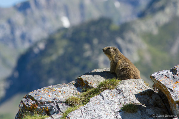 Marmotte des Alpes, Marmotte – Marmotta marmotta (Linnaeus, 1758), (Col du Pourtalet, Laruns (64), France, le 22/06/2019)