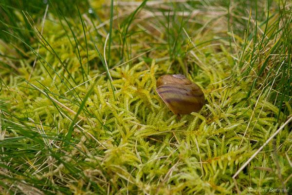 Escargot de Raspail (Tacheocampylaea raspailii) (Asco (2B), France, le 10/09/2019)