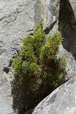 Genevrier de phoenicie (Juniperus phoenicea) (Etsaut (64), France, le 29/04/2019)