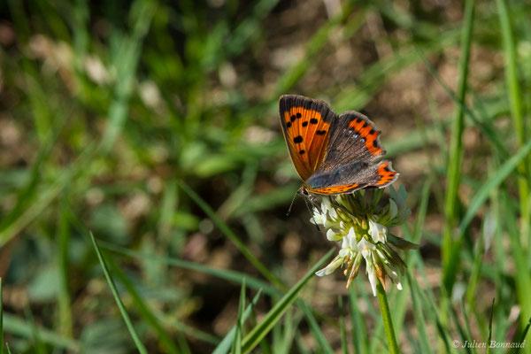 Cuivré commun (Lycaena phlaeas) (Saint-Jouvent (87), France, le 29/06/2018)