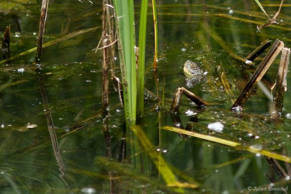 Cistude d'Europe (Emys orbicularis) (Lacq (64), France, le 19/06/2019)