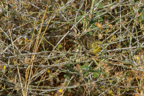 Serin cini (Serinus serinus) (Salamanque (Castille-et-León), Espagne, le 07/09/2018)
