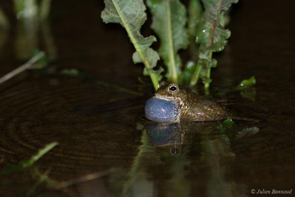 Crapaud calamite (Epidalea calamita) (Azereix (65), France, le 09/03/2020)