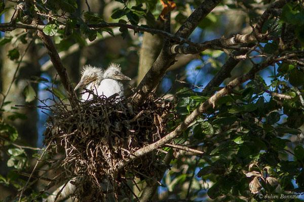 Héron garde-boeufs (Bubulcus ibis) (juvéniles) (Lac d'Orthez (64), le 31/05/2019)