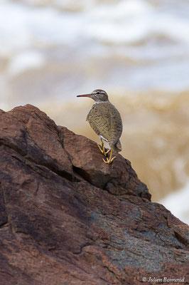 Chevalier grivelé (Actitis macularius) (adulte, plumage nuptial) (Route des plages, Remire-Montjoly, Guyane, le 29/03/2017)