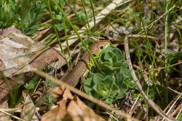 Lézard à deux raies (Lacerta bilineata) (juvénile) (fort du Portalet, Etsaut (64), France, le 29/03/2021)