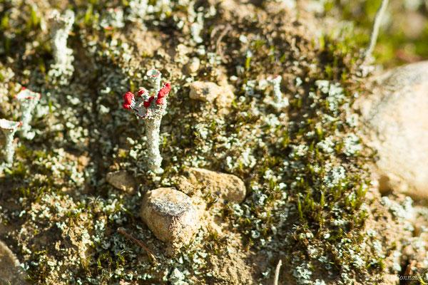 Cladonia macilenta (Lacommande (64), France, le 08/01/2020)