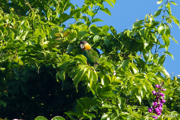 Caïque maïpouri (Pionites melanocephala) (Petit-Saut, le 07/07/2016)