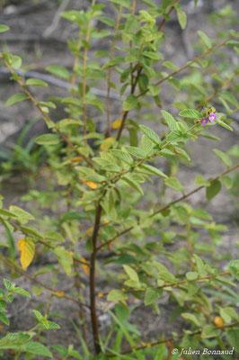 Melochia spicata (Centre Spatial Guyanais, Kourou le 12/05/2014)