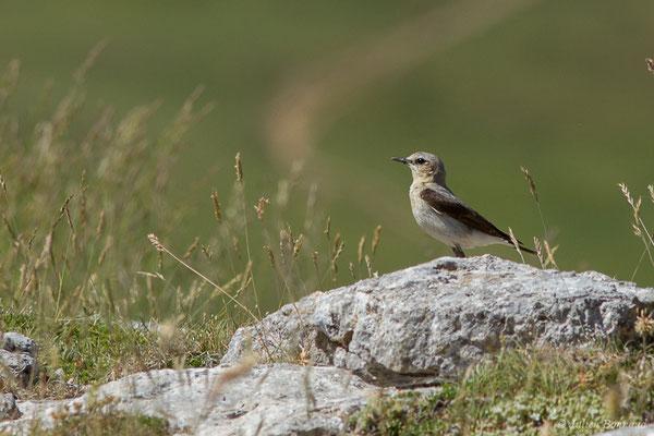 Traquet motteux (Oenanthe oenanthe) (Col du Pourtalet, Laruns (64), France, le 06/07/2019)