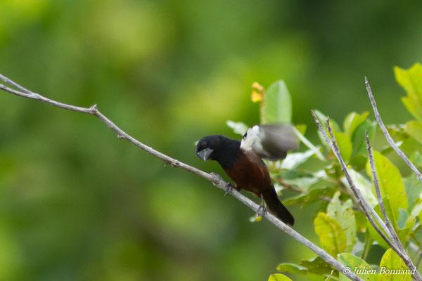 Sporophile curio ou Picolette (Oryzoborus angolensis) (mâle, adulte) (Centre Spatial Guyanais, Kourou, le 16/02/2017)
