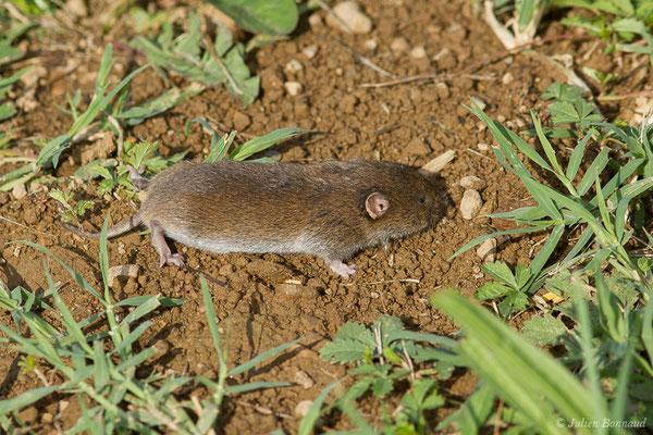 Campagnol agreste (Microtus agrestis) (Parbayse (64), France, le 10/07/2019)