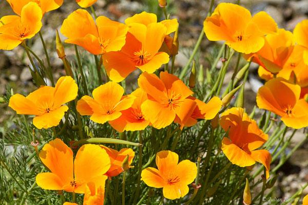 Pavot de Californie, Eschscholzie de Californie – Eschscholzia californica Cham., 1820, (Adé, (65), France, le 19/05/2021)