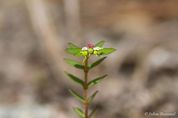 Euphorbia hyssopifolia (Centre Spatial Guyanais, Kourou, le 20/02/2017)