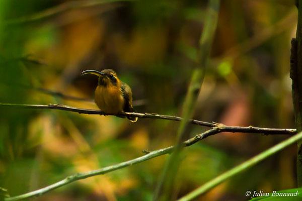 Ermite roussâtre (Phaethornis ruber) (mâle adulte) (Mana, le 20/08/2016) chante sur un lek.