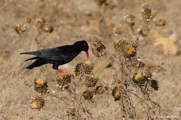 Crave à bec rouge (Pyrrhocorax pyrrhocorax) (Sagres (Vila do Bispo), (Algarve), Portugal, le 31/08/2018)