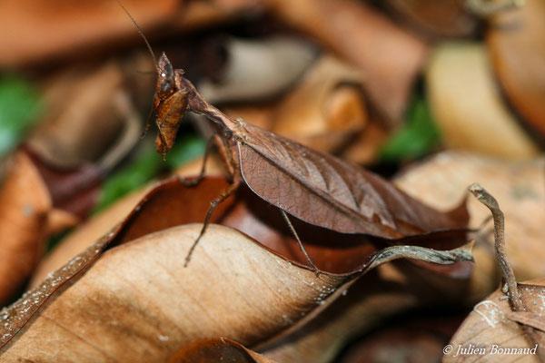 Acanthops fuscifolia (mâle) (Matoury, le 19/06/2014)