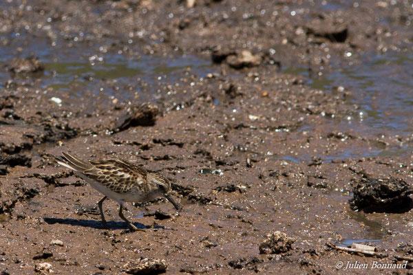 Bécasseau à poitrine cendrée ou Bécasseau tacheté (Calidris melanotos) (adulte, plumage internuptial) (Marais Leblond, Cayenne, Guyane, le 26/09/2016)