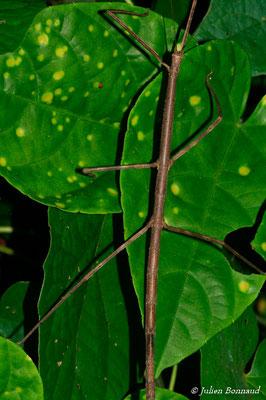 (Phanocloidea muricata) (Rorota, le 13-07-2015)